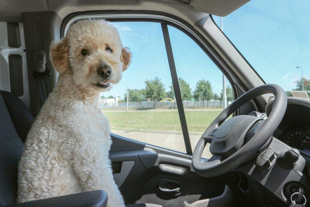 Chien au volant part en vacances en voiture