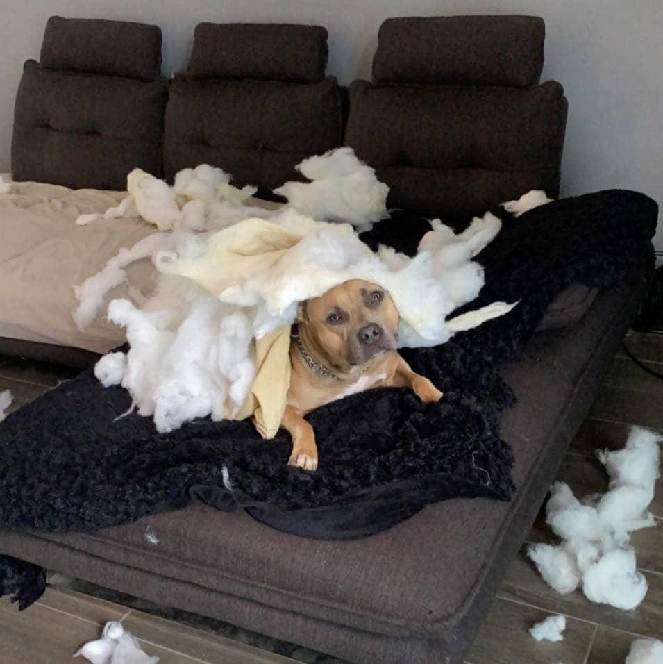 chien ayant détruit le canapé